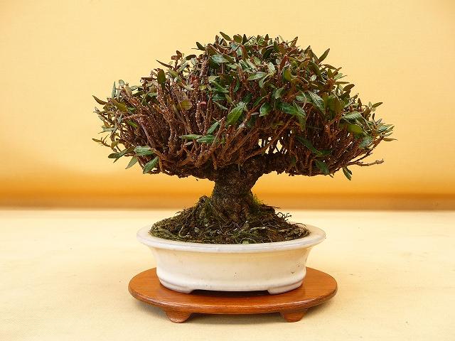 "Refurbishing a Japanese Maple - the ""Hedge Cutting Method"" - Page 2 640b"