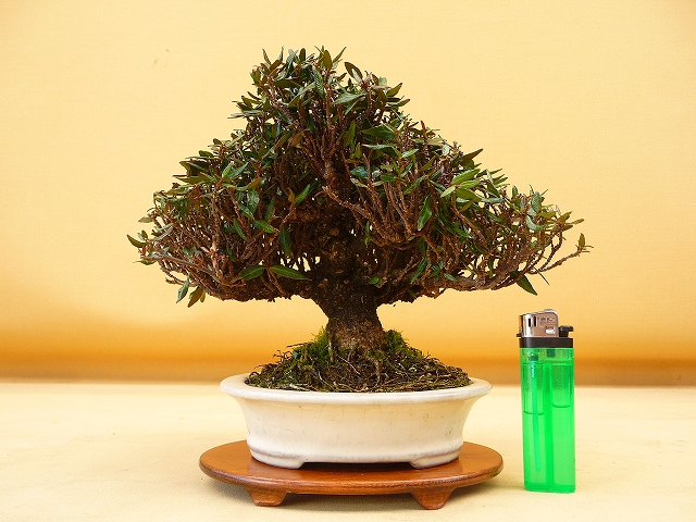 """Refurbishing a Japanese Maple - the """"Hedge Cutting Method"""" - Page 2 640s"""
