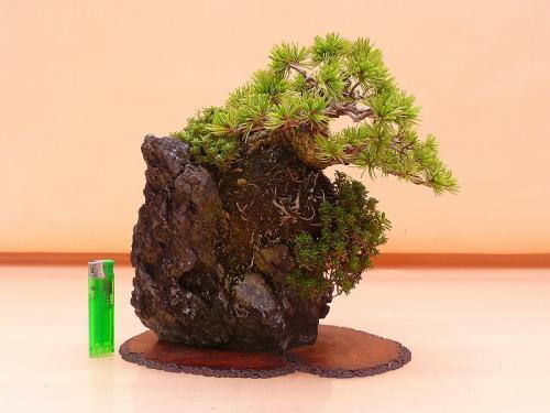 17081201 小品 石付五葉松