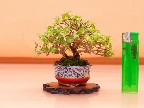 17081905 ミニ匂楓