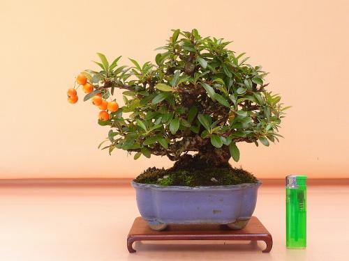 17102103 橘モドキ