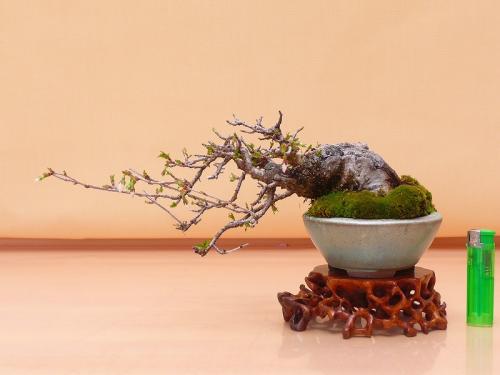 18032404 山採富士桜