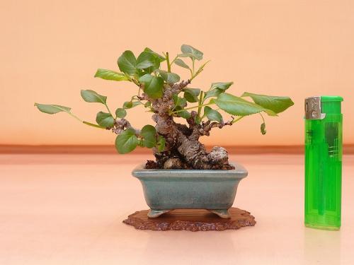 18033105 小豆梨