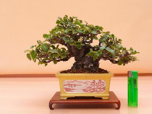 18100603 白長寿梅
