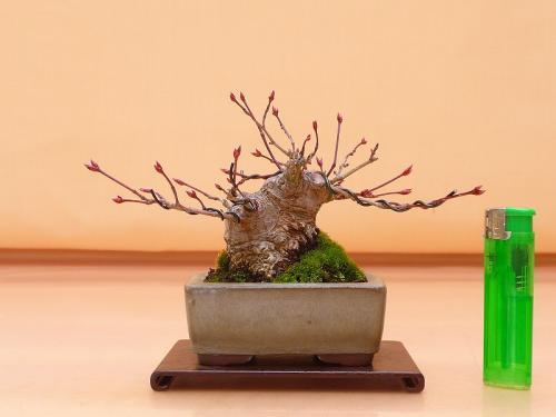 19021602 ミニ山紅葉