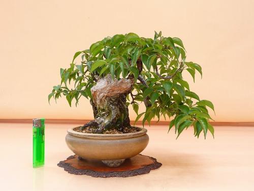 19060104 野梅 米良