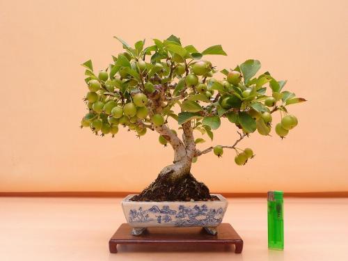 19081004 アメリカ姫林檎