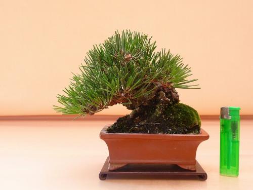 19092801 ミニ黒松
