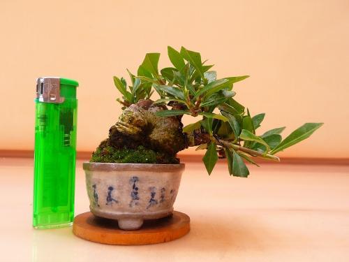 19092803 ミニ梔子