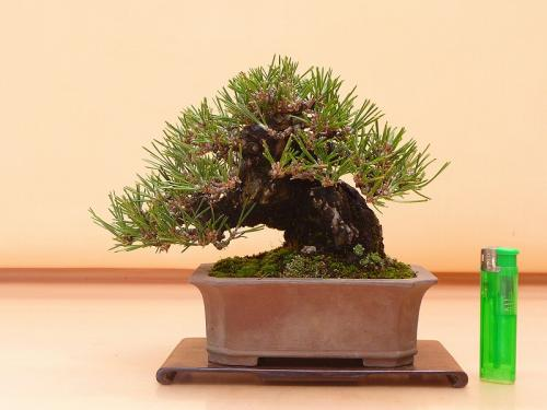 19121401 黒松