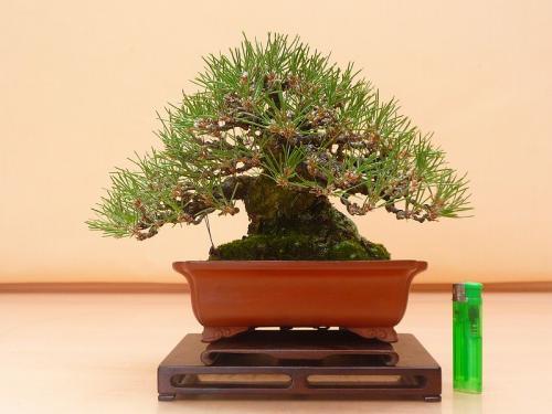 20012701 黒松