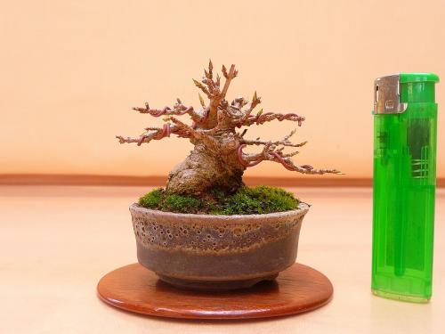 20030904 ミニ楓