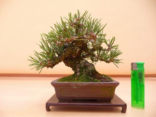 20031401 黒松