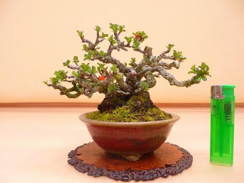 20032103 ミニ長寿梅