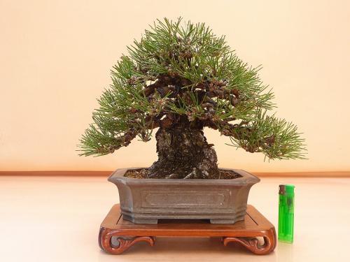 20041201 黒松