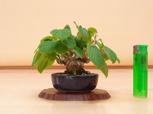 20041803 ミニ土佐水木
