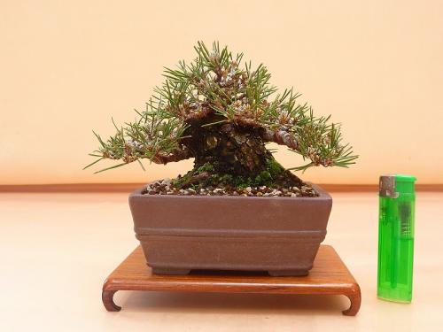20050201 ミニ黒松