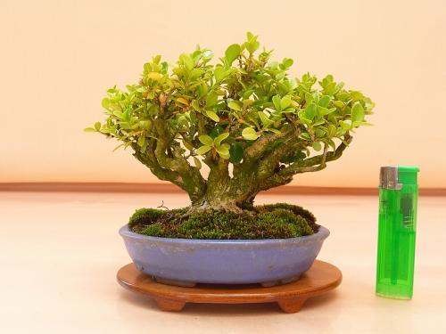 20050203 ミニ柘植