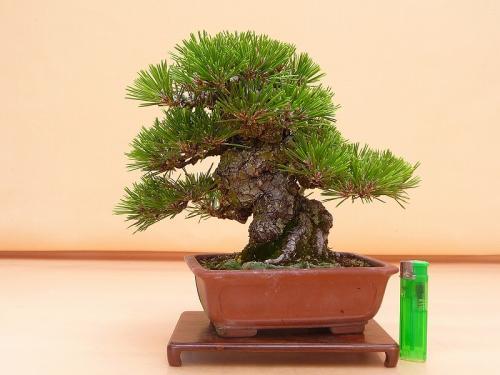 20060601 黒松