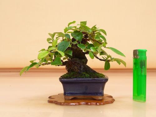 20071105 ミニ花梨