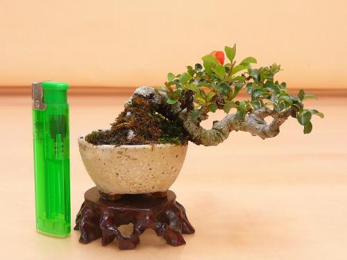 20072503 ミニ長寿梅