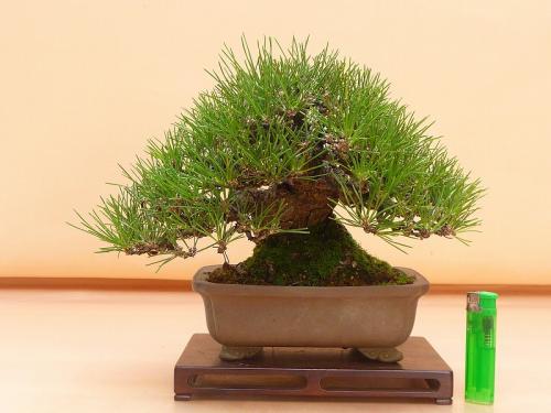 20080101 黒松