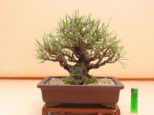 20081501 黒松