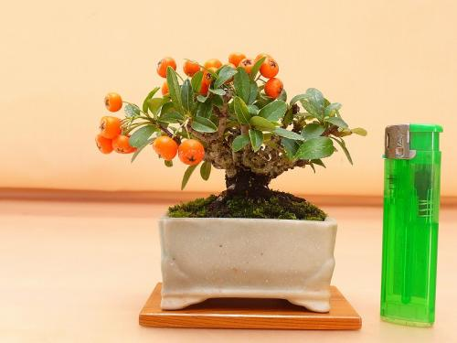20101003 ミニ橘モドキ