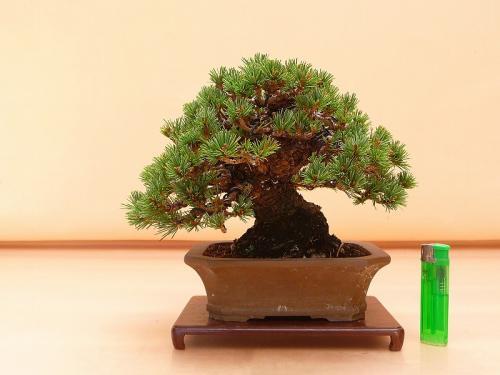 20101902 五葉松
