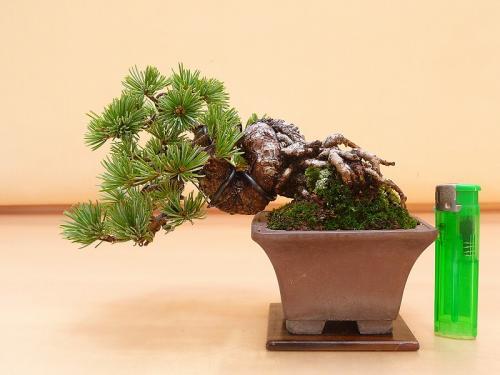 20102401 ミニ五葉松