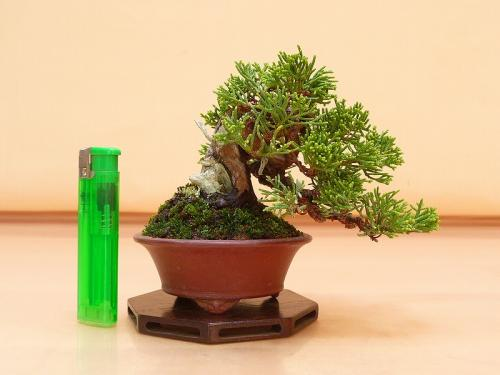 20102402 ミニ真柏