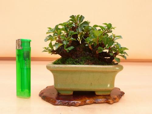 20102403 ミニ長寿梅