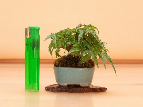 20102404 ミニ紅葉 琴姫