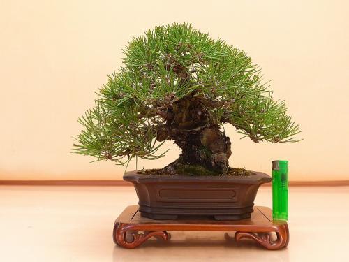20121901 黒松